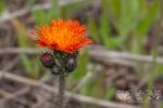 Orange Hackweed