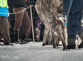 Apostle Islands Dog Sled Races 2015-7605