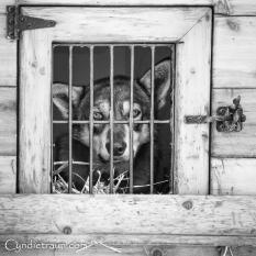 Apostle Island Sled Dog Races 2016-2178