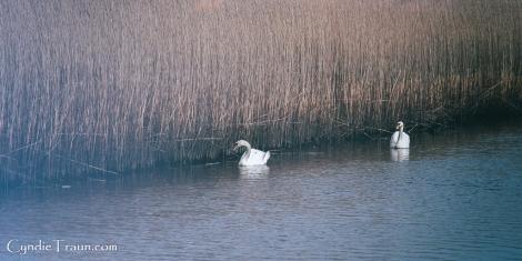 Doonbeg River Swan-3867