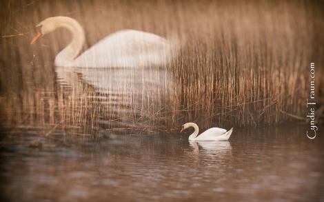 Doonbeg River Swan-9624